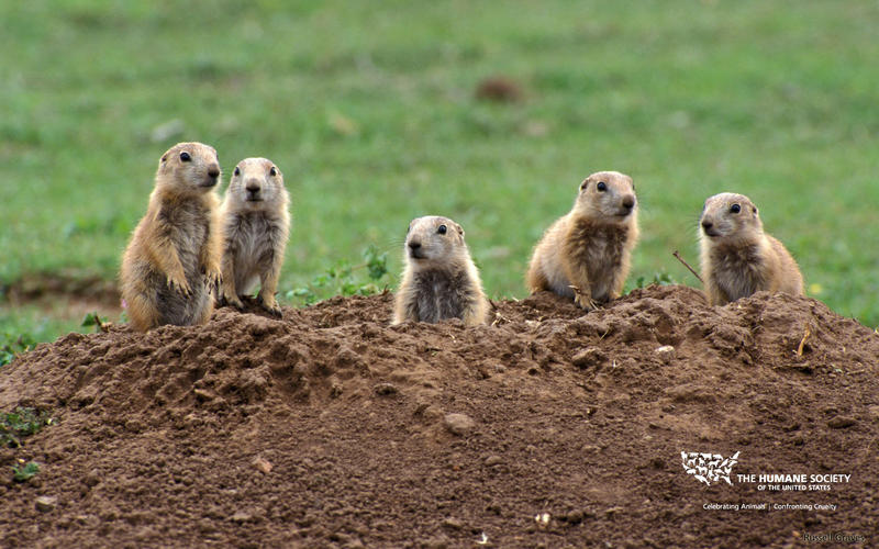 Prairie dogs inhabiting southern Utah.  The supreme court won't hear a suit over prairie dog protections.