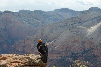 Condor #9 in Zion National Park.  Day said that for some tourists, the condors are a major attraction.