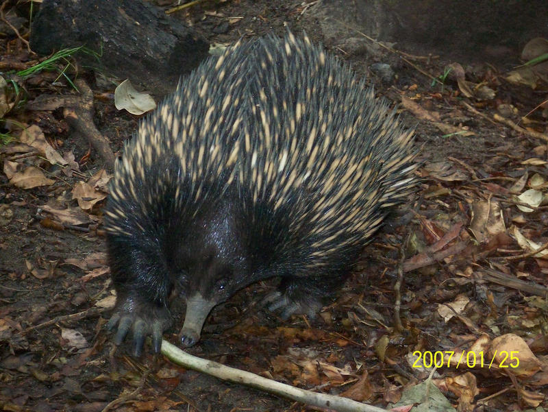 Echidnas are some of the highest ranked EDGE mammals.