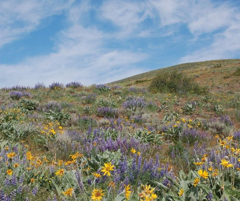 Healthy sagebrush steppe with a variety of wildflowers, grasses, and shrubs.
