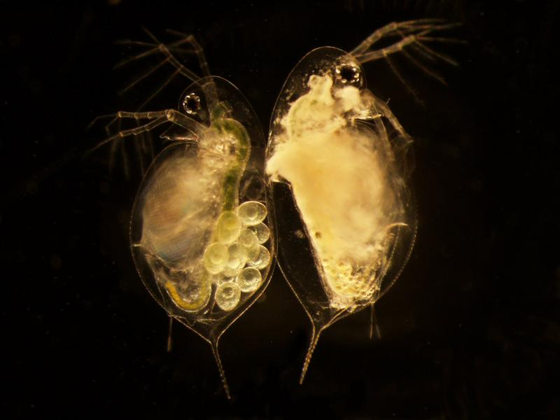 Two water fleas of the same age.  The one on the left is healthy.  The one on the right has a pathogen.