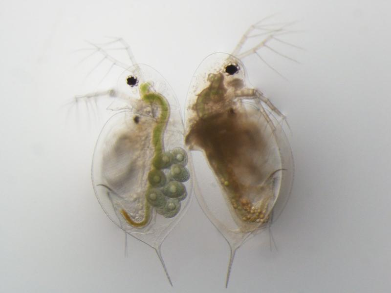 The healthy water flea on the left has many young in her brood chamber.  The infected Daphnia has no young in her brood chamber.