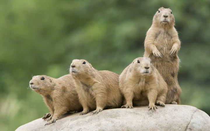 Utah prairie dogs are given looser protections.