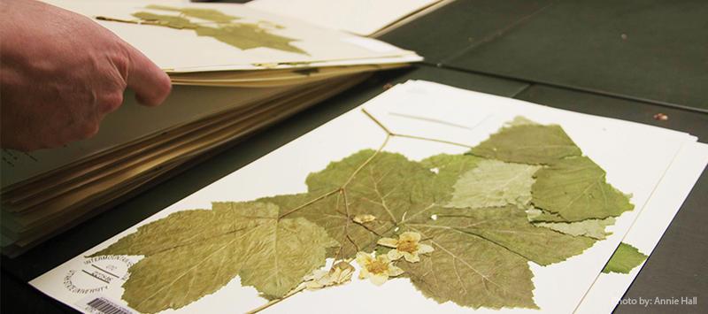 Plant specimens at the Intermountain Herbarium