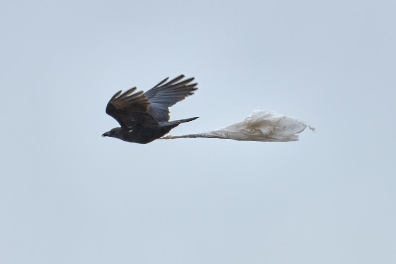 A crow flying with a plastic bag at Farmington Bay.