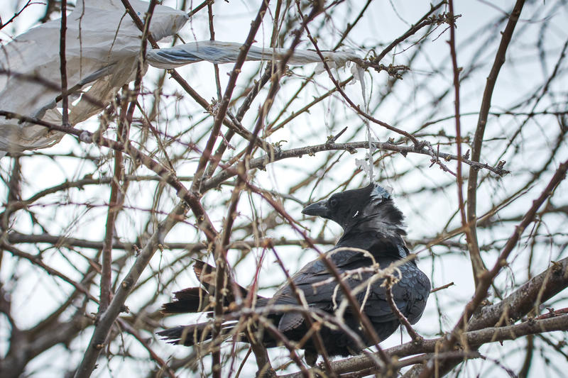 A crow trapped in a tree by plastic trash at Farmington Bay.