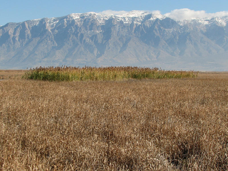 Great Salt Lake Phragmites