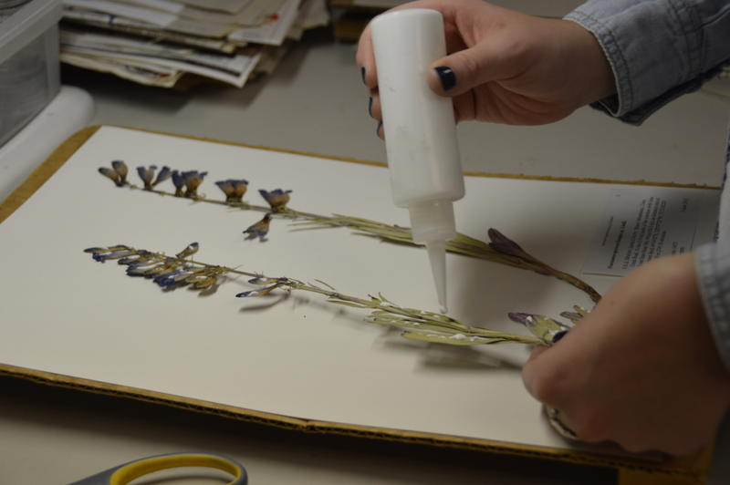 Attaching a specimen to acid-free paper at the herbarium