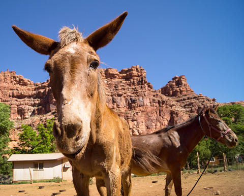 Pack horse in the desert, the Havasupai Tribe Convicts 3 For Animal Abuse; 2 More Charged
