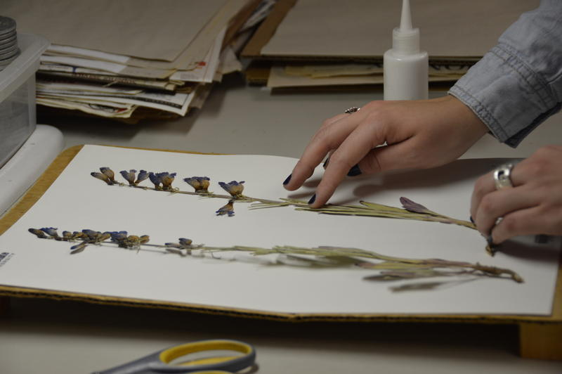 A penstemon is carefully laid flat on acid-free paper at the Intermountain Herbarium.