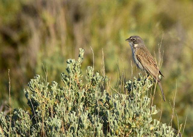 Native plants benefit bird species across the U.S.