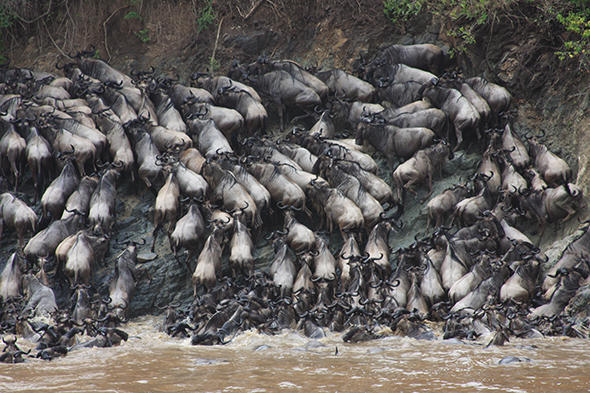 Herd mentality takes over as wildebeests migrate across river