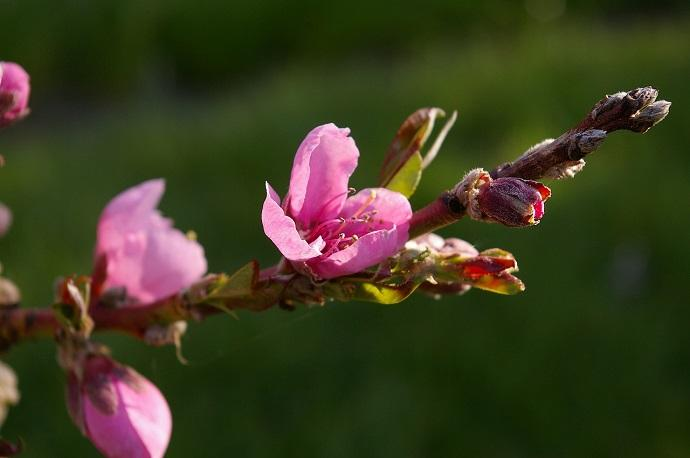 Fire blight is a bacteria disease that effects apples, pears, crab apples and hawthorn trees.