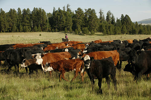 The Three Creeks Project will implement cattle and sheep grazing on designated areas of land for short amounts of time. The grazing allotments are designed to limit large amounts of fuel for wild fires and maintain plant and soil health.