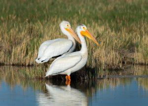 A pair of American White pelicans gather in shallow water.