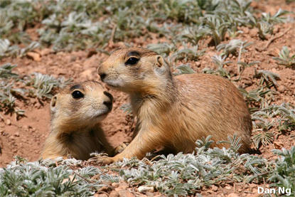 Two prairie dogs pop out of their burrow surrounded by red dirt and small green plants.