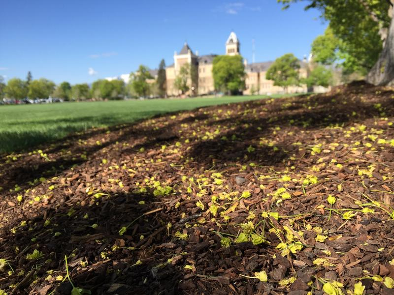 Mulch is a useful topdressing around garden beds and trees at Utah State University