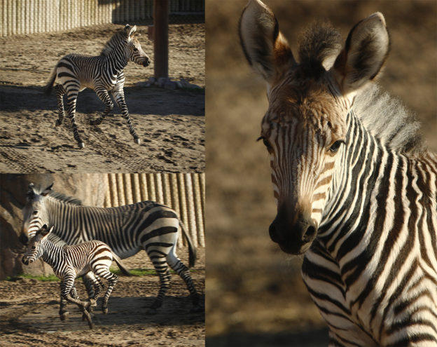 Hogle Zoo welcomes new baby zebra.