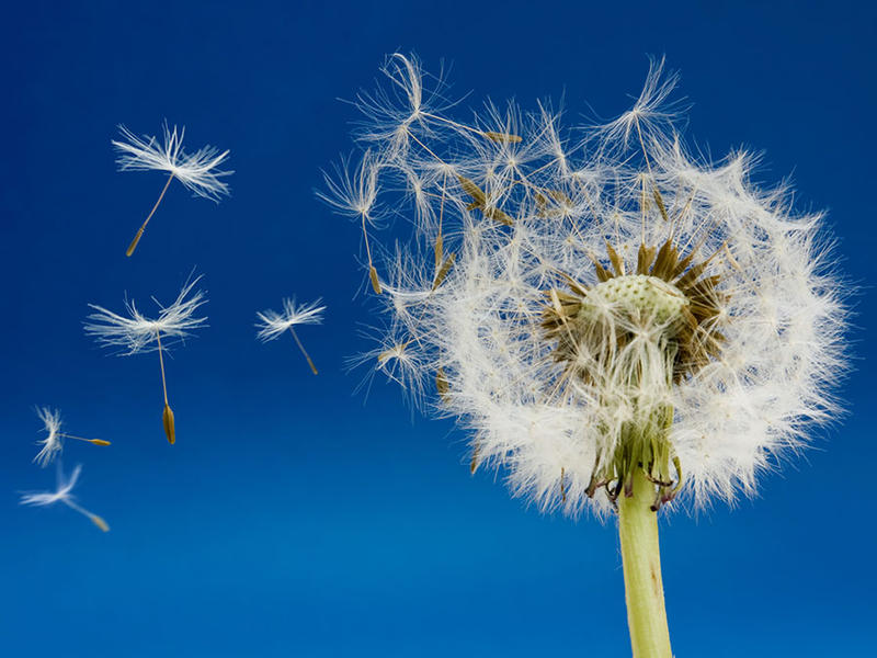 A puffy white dandelion head disintegrates in the wind in front of a blue sky.