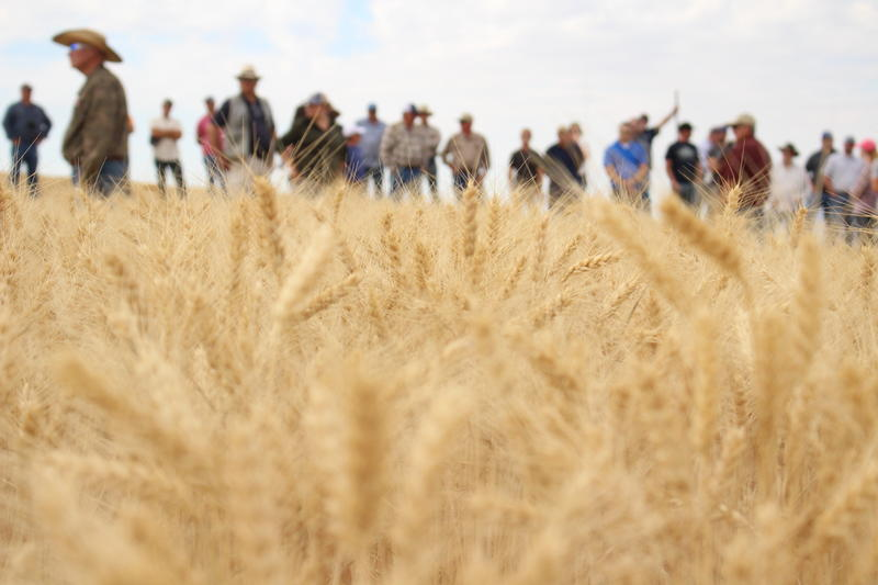 Farmers use data gathered from wheat trials to use in their own operations