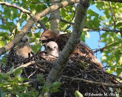 Adult Red-tailed Hawk cares for its young.