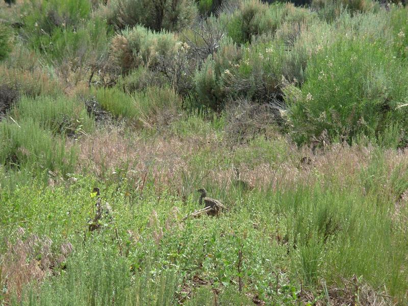 Hen and chicks in treated habitat.  It has healthy sagebrush and a grasses and forbs provide food and visual cover