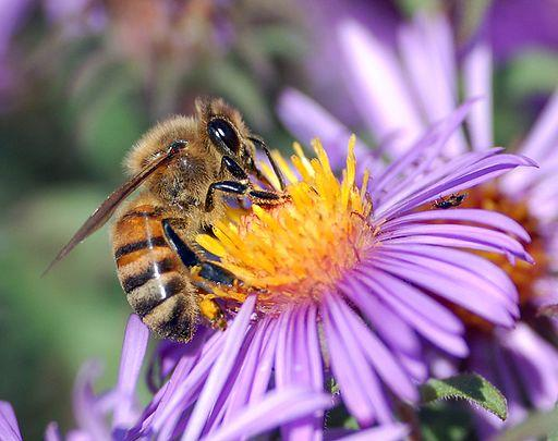 Close up of honey bee on purple aster flower with yellow center.