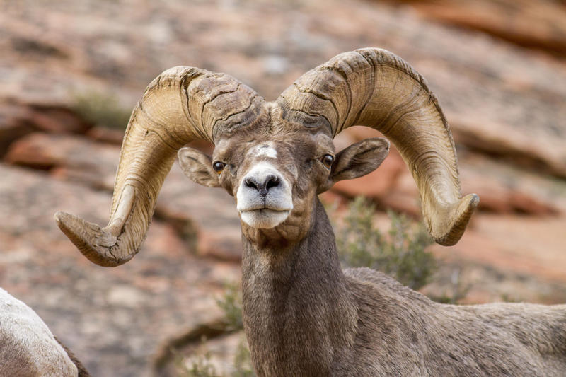 Bighorn Sheep: Some Zion National Park sheep have contracted pneumonia.