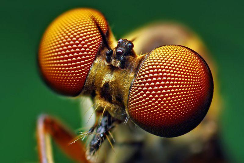 Green background, fly with large eyes, primarily orange and brown in color.