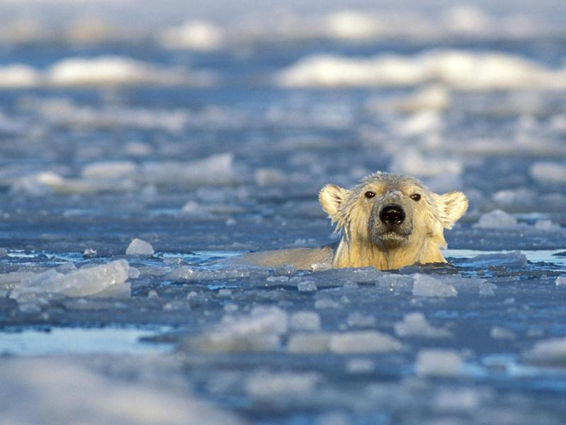 As ice melts, polar bears have to swim ever-farther to find food. Biologist Blaine Griffen's research explores the increasing energy demands this makes on the bears.