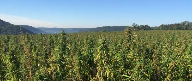 The regulations for industrial hemp growers, processors and labeling were released this week.