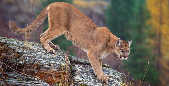Cougars in Green Canyon near North Logan have wildlife experts working to keep the area safe. Listen to what you should do if you see one.