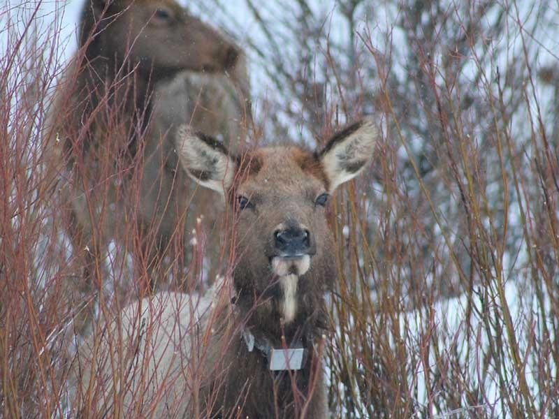 Dan MacNulty uses radio-collared elk to study the way prey animals interact with their environment based on predators' schedules.