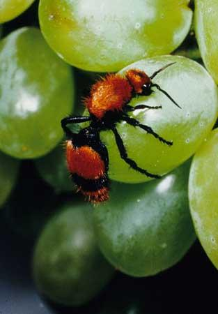 Velet ant, red and black wasp crawling on green plant.