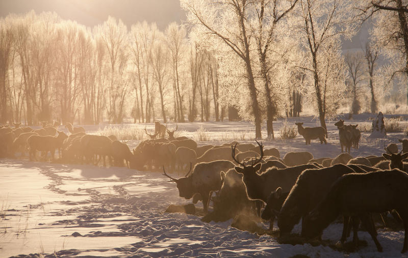 Sunrise on a snow covered field with icy trees, spread across the field are elk feeding.