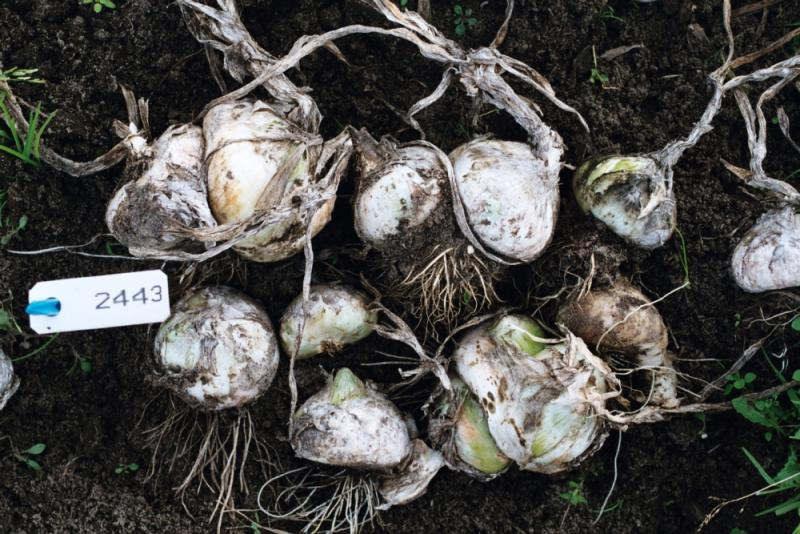 The Blanc de Paris Hatif onions from The Centre for Genetic Resources, the Netherlands