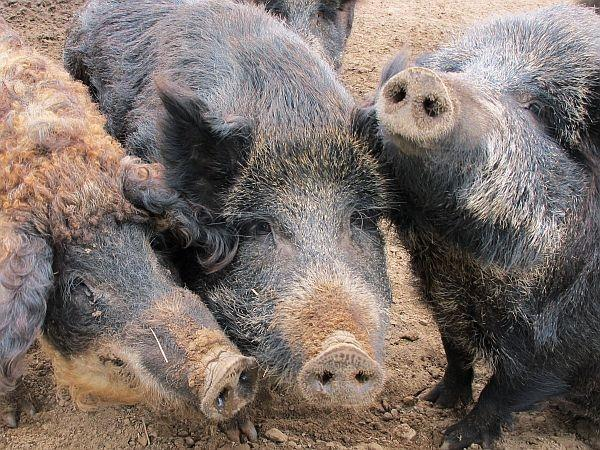 This 2012, photo shows a Mangalitsa boar, left, and two Russian swine on a farm in Michigan. Known by various labels, feral