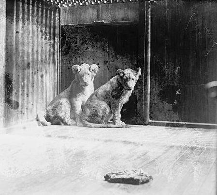"A South African dignitary presented two lions cubs to Coolidge as gifts. Coolidge named them ""Tax Reduction"" and ""Budget"