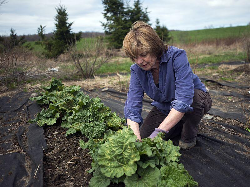 Sara Kittell tends to her rhubarbs in the family patch in Fairfield on April 30, 2013. Kittell grows around 250 rhubarb plants and makes pies with the rhubarb she grows.