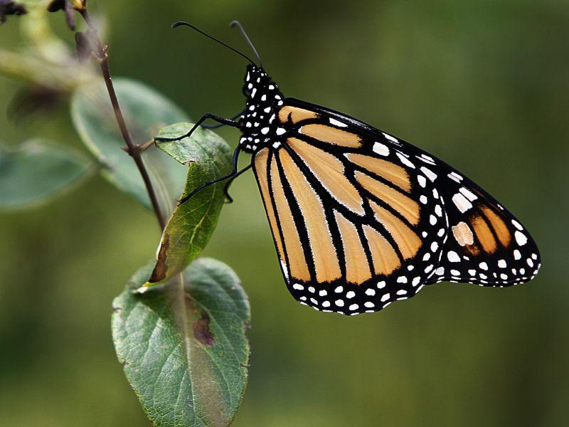 In this Aug. 2012 photo, a Monarch butterfly, perches on a tree branch in Montpelier, Vt.