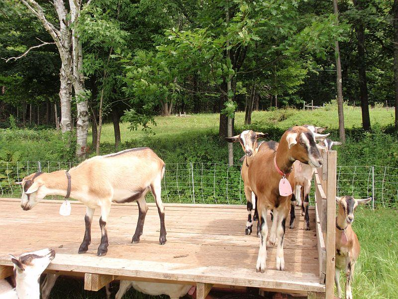 Goats at Fat Toad Farm. Milk from the goats is used to make their popular caramel sauces.