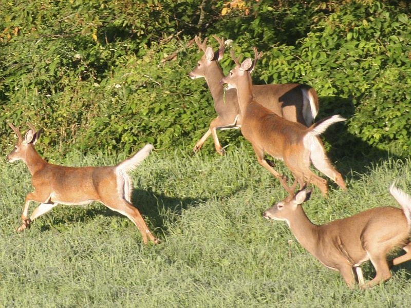 Vermont's Big Game Plan has a goal of maintaining a white-tail deer population of 101,700 to 141,100 animals.