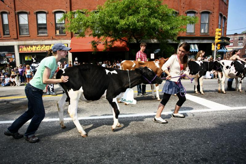 The sixth annual Strolling of the Heifers on Saturday, June 2, 2007, in Brattleboro, Vt