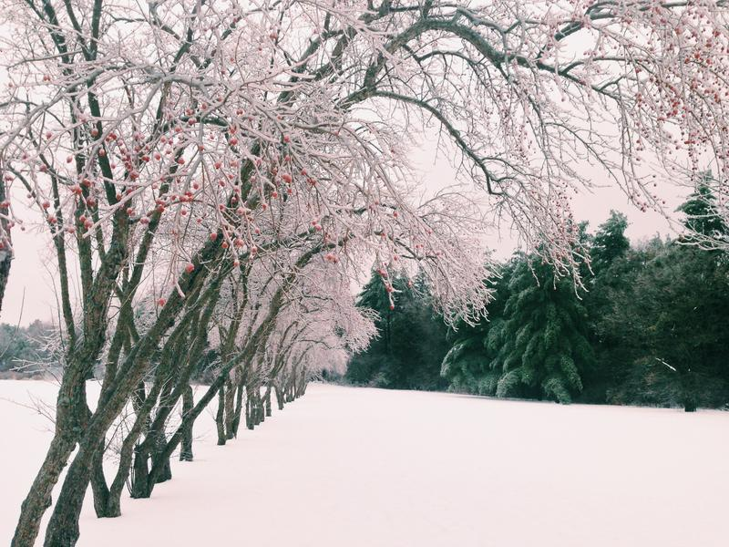 This tree-lined path in at Oakledge Park in Burlington has ice-lined trees.