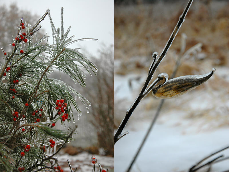 Ice clings to pine needles and a seed pod in Brandon.