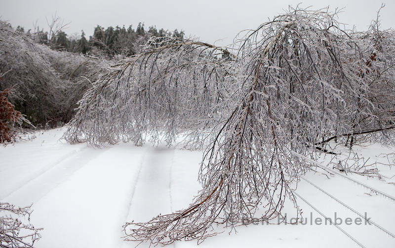 Trees bend and buckle under the weight of the ice in Fletcher.
