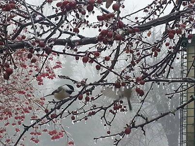 A chickadee alights on a frozen branch in Marshfield.