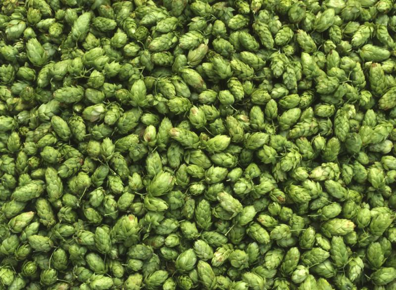A federally-funded UVM study will explore new ways to reduce fertilizer use in the production of hops.