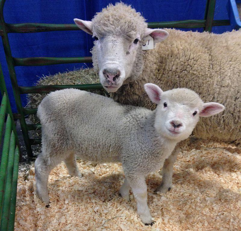 A ewe and a lamb pose for the camera at the 2014 Vermont Farm Show in Essex Junction.