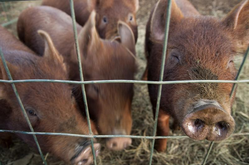 Piglets nose up to a wire fence at Green Mountain Girls Farm in Northfield in December. Preliminary results from the 2012 federal Agriculture Census show that small-scale agriculture is growing in Vermont.